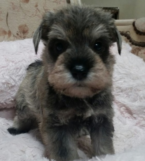 ミニチュアシュナウザーの子犬(ID:1237811021)の1枚目の写真/更新日:2018-11-05