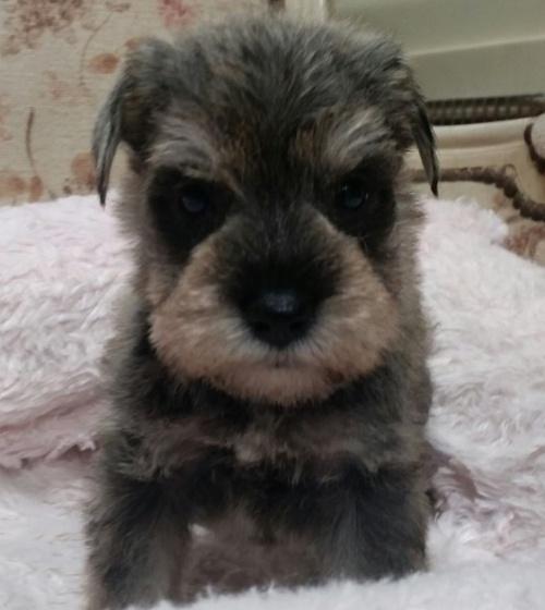 ミニチュアシュナウザーの子犬(ID:1237811021)の2枚目の写真/更新日:2018-11-05