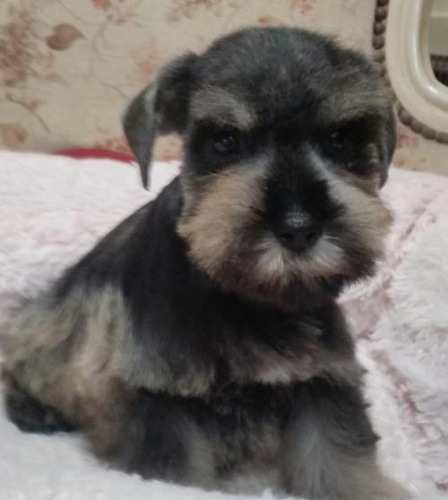 ミニチュアシュナウザーの子犬(ID:1237811023)の1枚目の写真/更新日:2018-11-05