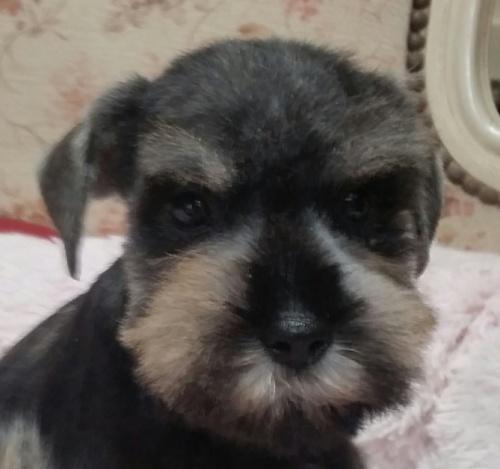 ミニチュアシュナウザーの子犬(ID:1237811023)の2枚目の写真/更新日:2018-11-05