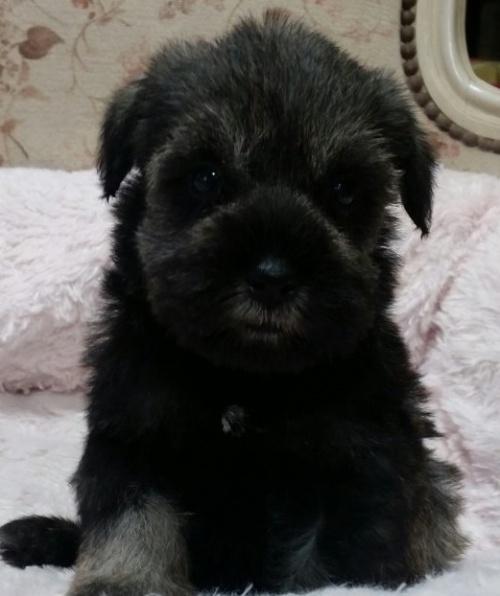 ミニチュアシュナウザーの子犬(ID:1237811025)の1枚目の写真/更新日:2018-11-07