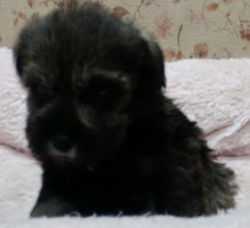 ミニチュアシュナウザーの子犬(ID:1237811025)の2枚目の写真/更新日:2018-11-07