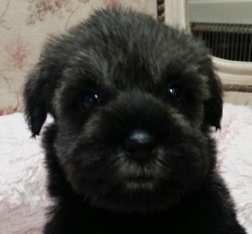 ミニチュアシュナウザーの子犬(ID:1237811025)の3枚目の写真/更新日:2018-11-07