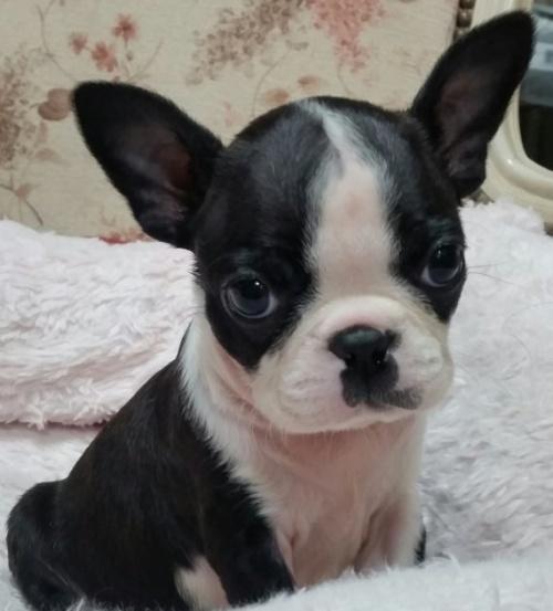 ボストンテリアの子犬(ID:1237811030)の2枚目の写真/更新日:2018-12-26