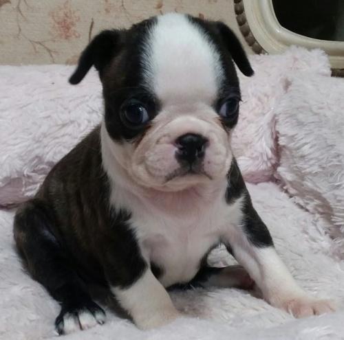 ボストンテリアの子犬(ID:1237811032)の1枚目の写真/更新日:2019-05-25