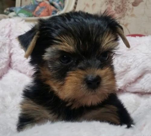 ヨークシャーテリアの子犬(ID:1237811033)の1枚目の写真/更新日:2019-01-18