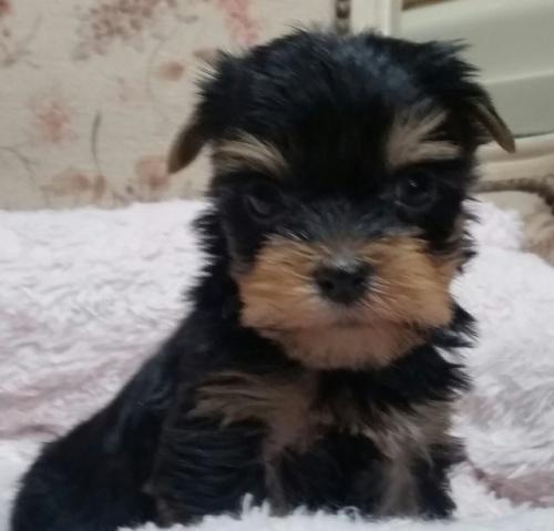 ヨークシャーテリアの子犬(ID:1237811034)の1枚目の写真/更新日:2019-01-18