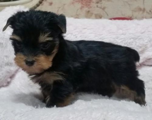 ヨークシャーテリアの子犬(ID:1237811034)の2枚目の写真/更新日:2019-01-18