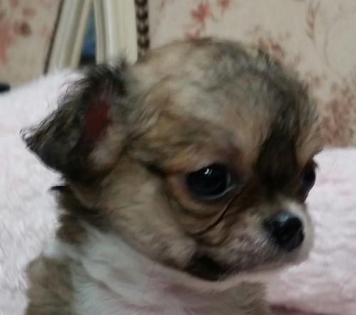 チワワ(ロング)の子犬(ID:1237811036)の2枚目の写真/更新日:2018-11-07