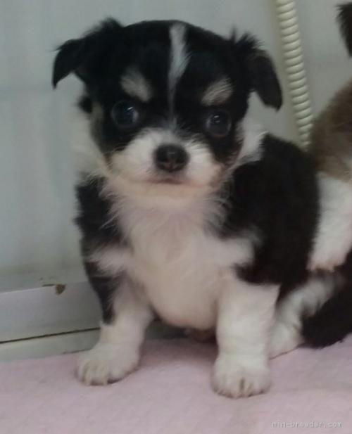 チワワ(ロング)の子犬(ID:1237811037)の1枚目の写真/更新日:2019-01-14