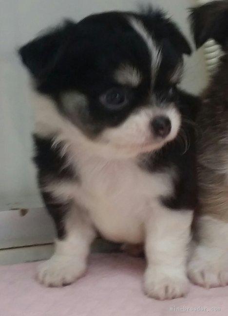 チワワ(ロング)の子犬(ID:1237811037)の2枚目の写真/更新日:2019-01-14