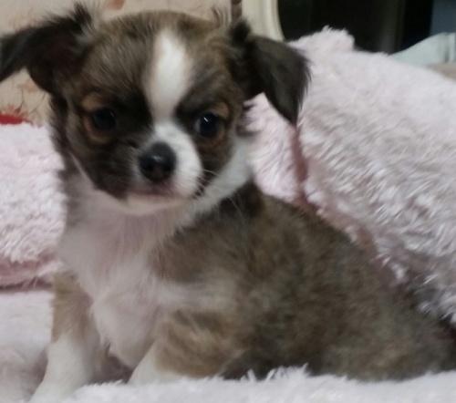チワワ(ロング)の子犬(ID:1237811038)の2枚目の写真/更新日:2019-01-18