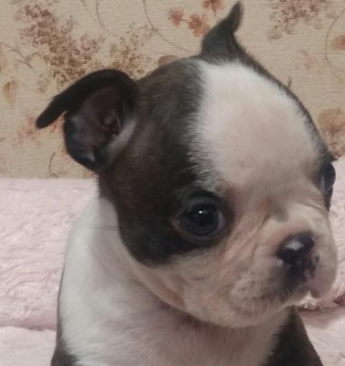 ボストンテリアの子犬(ID:1237811039)の2枚目の写真/更新日:2019-05-25