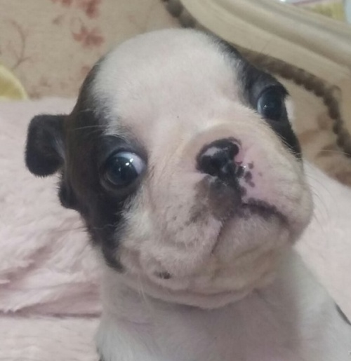 ボストンテリアの子犬(ID:1237811039)の3枚目の写真/更新日:2019-05-25