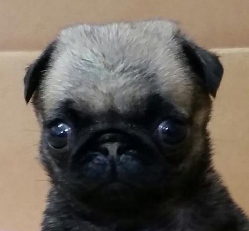 パグの子犬(ID:1237811058)の1枚目の写真/更新日:2019-06-28