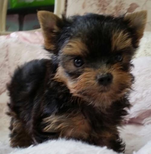 ヨークシャーテリアの子犬(ID:1237811124)の1枚目の写真/更新日:2018-08-14