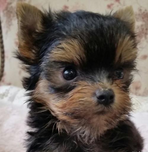 ヨークシャーテリアの子犬(ID:1237811124)の2枚目の写真/更新日:2018-08-14