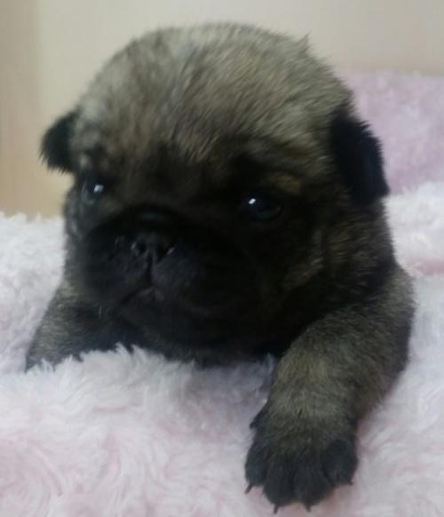 パグの子犬(ID:1237811149)の1枚目の写真/更新日:2016-12-19