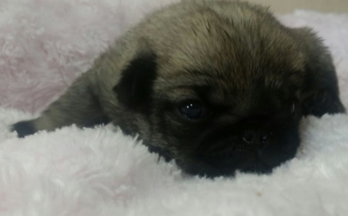 パグの子犬(ID:1237811149)の2枚目の写真/更新日:2016-12-19