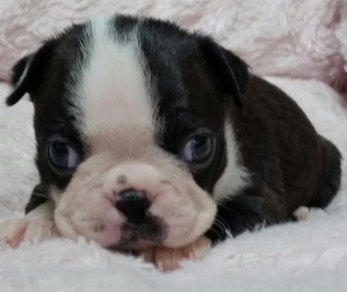 ボストンテリアの子犬(ID:1237811159)の1枚目の写真/更新日:2019-05-16