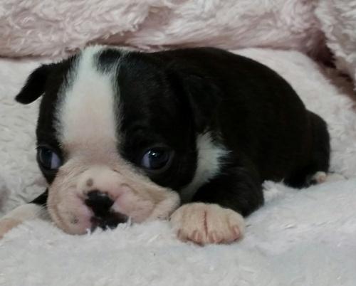 ボストンテリアの子犬(ID:1237811159)の2枚目の写真/更新日:2017-10-25