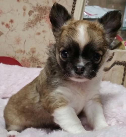 チワワ(ロング)の子犬(ID:1237811164)の1枚目の写真/更新日:2018-04-02