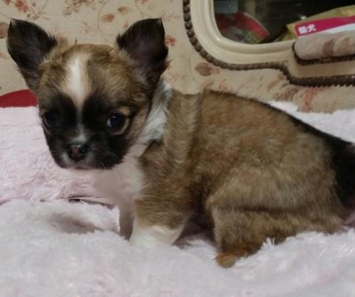 チワワ(ロング)の子犬(ID:1237811164)の2枚目の写真/更新日:2018-04-02