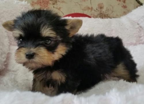 ヨークシャーテリアの子犬(ID:1237811166)の1枚目の写真/更新日:2018-04-30