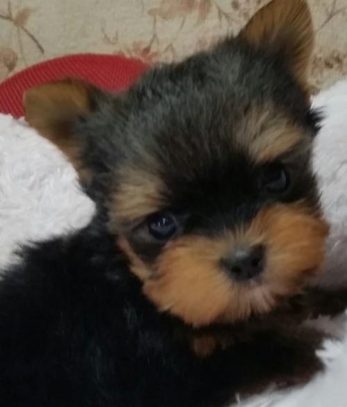 ヨークシャーテリアの子犬(ID:1237811167)の1枚目の写真/更新日:2018-05-04