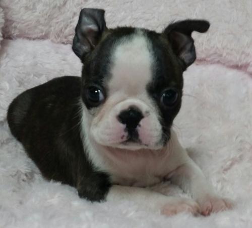 ボストンテリアの子犬(ID:1237811169)の1枚目の写真/更新日:2018-05-14