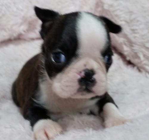 ボストンテリアの子犬(ID:1237811170)の2枚目の写真/更新日:2018-05-15