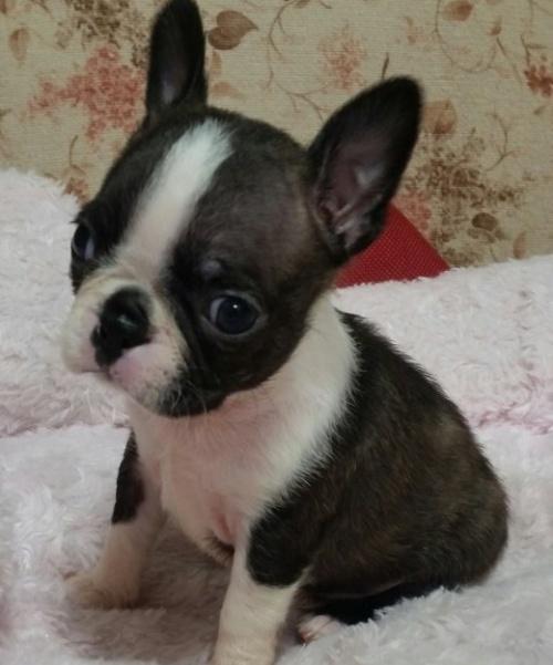 ボストンテリアの子犬(ID:1237811171)の1枚目の写真/更新日:2018-05-07