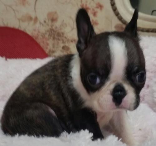 ボストンテリアの子犬(ID:1237811171)の2枚目の写真/更新日:2018-05-07