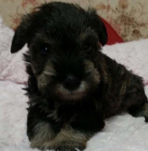 ミニチュアシュナウザーの子犬(ID:1237811172)の1枚目の写真/更新日:2018-05-22