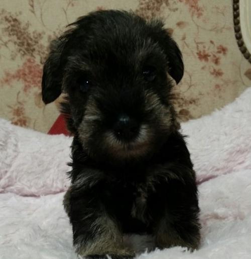 ミニチュアシュナウザーの子犬(ID:1237811172)の2枚目の写真/更新日:2018-05-22
