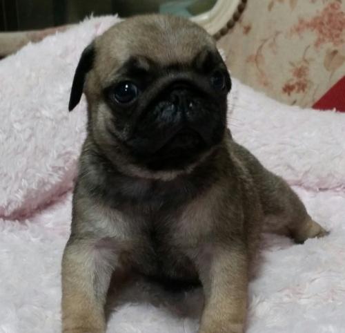 パグの子犬(ID:1237811173)の1枚目の写真/更新日:2018-05-31