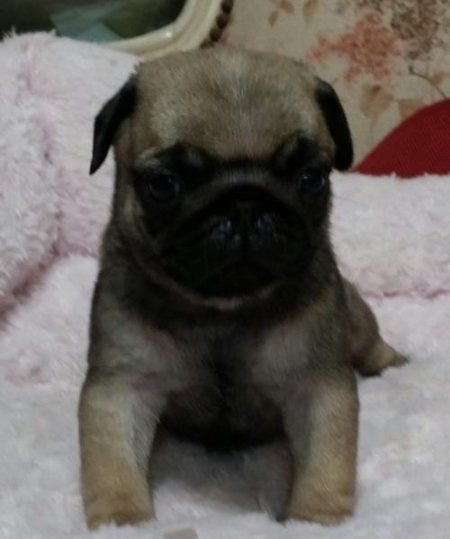パグの子犬(ID:1237811173)の2枚目の写真/更新日:2018-05-31