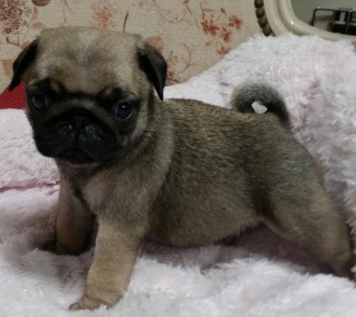 パグの子犬(ID:1237811173)の3枚目の写真/更新日:2018-05-31