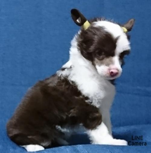 チャイニーズ・クレステッド・ドッグの子犬(ID:1238011007)の1枚目の写真/更新日:2019-07-08