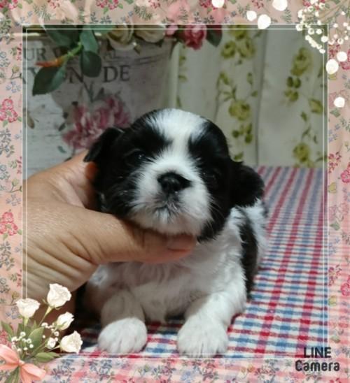 シーズーの子犬(ID:1238011020)の1枚目の写真/更新日:2019-06-25