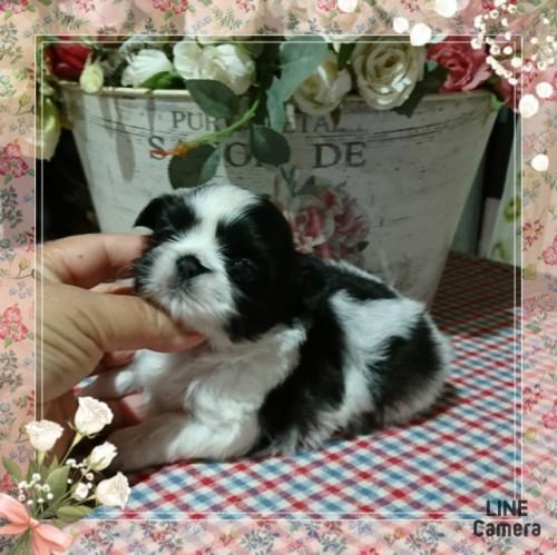 シーズーの子犬(ID:1238011020)の2枚目の写真/更新日:2019-06-25