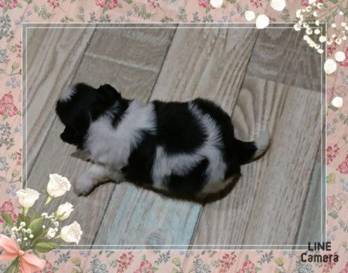 シーズーの子犬(ID:1238011020)の3枚目の写真/更新日:2019-06-25