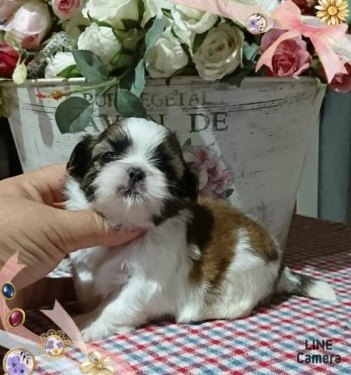 シーズーの子犬(ID:1238011022)の1枚目の写真/更新日:2019-06-25