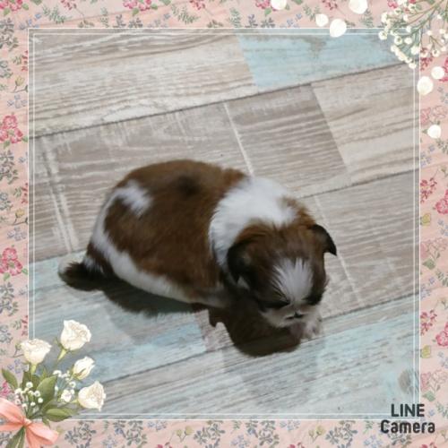 シーズーの子犬(ID:1238011022)の2枚目の写真/更新日:2019-06-25