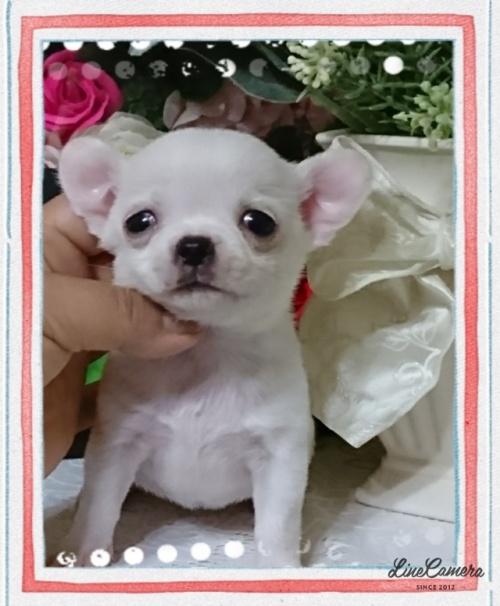 チワワ(スムース)の子犬(ID:1238011023)の1枚目の写真/更新日:2018-11-05