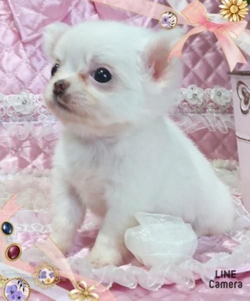 チワワ(ロング)の子犬(ID:1238011033)の1枚目の写真/更新日:2019-07-17