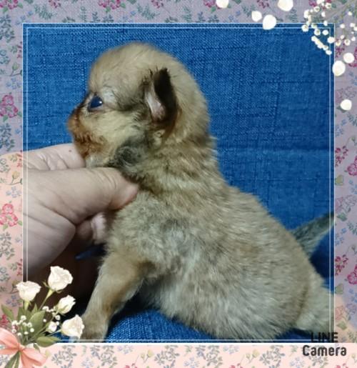 チワワ(ロング)の子犬(ID:1238011034)の2枚目の写真/更新日:2019-07-19