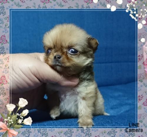 チワワ(ロング)の子犬(ID:1238011034)の3枚目の写真/更新日:2019-07-19