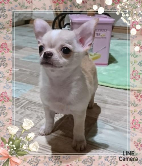 チワワ(スムース)の子犬(ID:1238011035)の2枚目の写真/更新日:2019-08-13