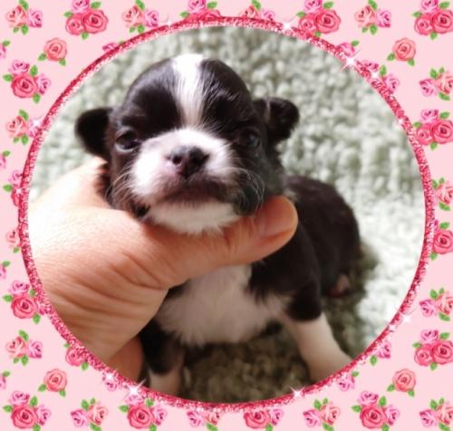 チワワ(ロング)の子犬(ID:1238011036)の1枚目の写真/更新日:2019-07-17